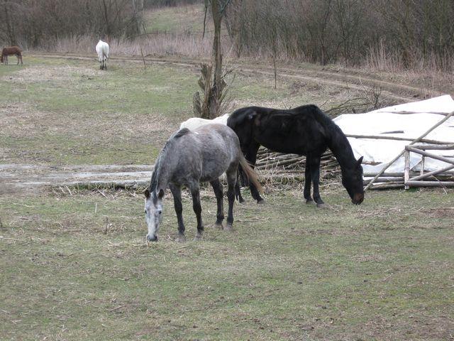 paard met oedeem onder zn buik